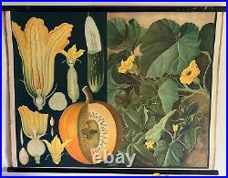 A Rare Beautiful Original Vintage Botanical Chart Of A Pumpkin Plant Circa 1950